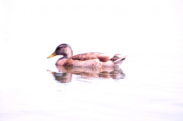 High Key photo of duck